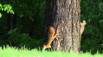 Wilderness Fellowship Animals - Red Squirrels